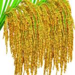 Семена риса от компании Сертис СА Групп